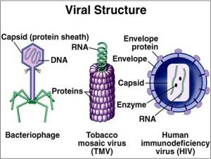 viral sturucture
